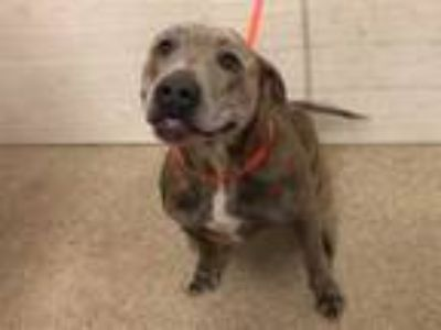Adopt MEATLOAF a Brindle American Pit Bull Terrier / Mixed dog in Tavares