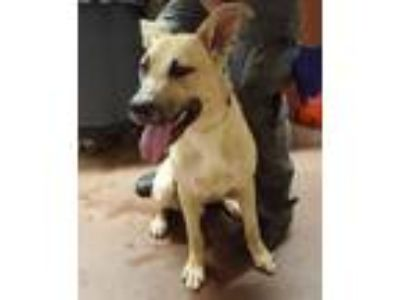 Adopt YUKON a Labrador Retriever, German Shepherd Dog