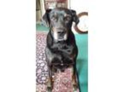 Adopt Obi a Black Labrador Retriever / Hound (Unknown Type) / Mixed dog in