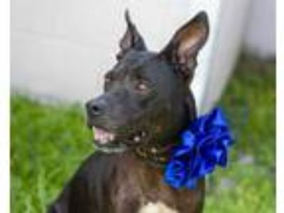 Adopt SHADOW a Black American Pit Bull Terrier / Mixed dog in St.
