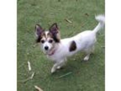 Adopt Harpper a White - with Brown or Chocolate Pomeranian / Mixed dog in