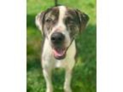Adopt Dino a White Boxer / Hound (Unknown Type) / Mixed dog in Chester Springs