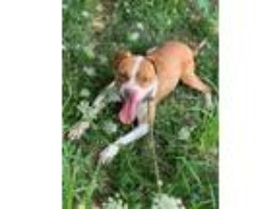 Adopt Cyrax a White American Pit Bull Terrier / Mixed dog in Philadelphia