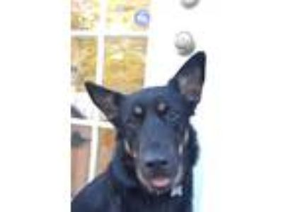 Adopt Cappuccino a German Shepherd Dog