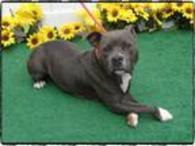 Adopt MAMMY a Gray/Silver/Salt & Pepper - with White Pit Bull Terrier / Mixed