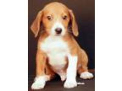 Adopt Mickey a Beagle, Collie