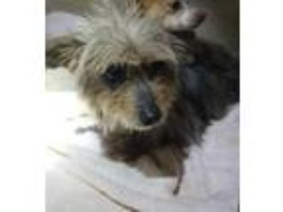 Adopt SAVANNAH a Yorkshire Terrier