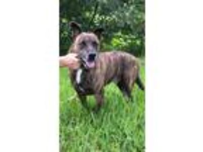 Adopt Ryder a Labrador Retriever / Staffordshire Bull Terrier / Mixed dog in