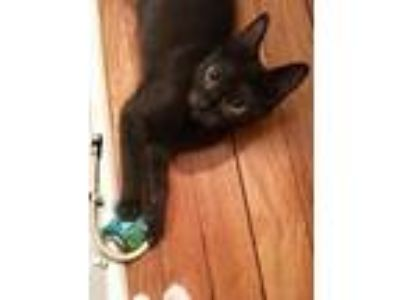 Adopt Sirius a All Black Domestic Longhair cat in Bolton, CT (25778333)