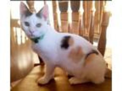 Adopt Tipsy - Not at the shelter a Calico, Domestic Short Hair