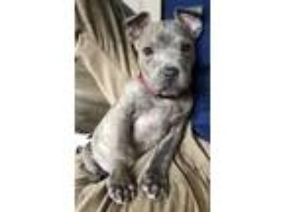 Adopt Geno a Brindle Pit Bull Terrier / Mixed dog in Clarkston, MI (24807550)