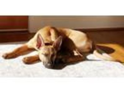 Adopt Molly a German Shepherd Dog, American Staffordshire Terrier