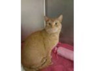 Adopt Mau Mau a Orange or Red Domestic Shorthair / Domestic Shorthair / Mixed
