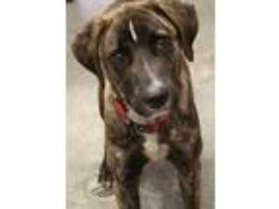 Adopt Tiger a Brindle Plott Hound / Mixed dog in Bowling Green, KY (23633918)