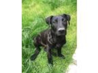 Adopt George a Black American Pit Bull Terrier / Great Dane / Mixed dog in