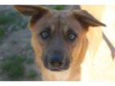 Adopt Phoebe a Brown/Chocolate - with White Shepherd (Unknown Type) / Golden