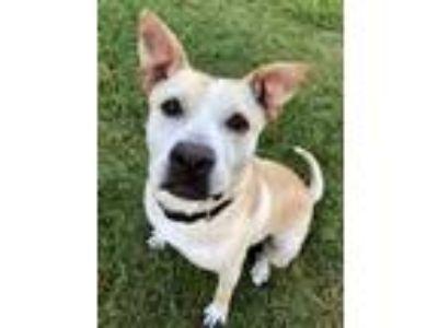 Adopt Toni a White - with Tan, Yellow or Fawn Labrador Retriever / Shar Pei /