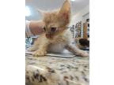 Adopt 3 KITTENS: Nala, Simba, Zazu a Orange or Red (Mostly) Domestic Shorthair