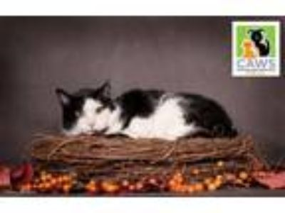 Adopt Sarge a Domestic Short Hair