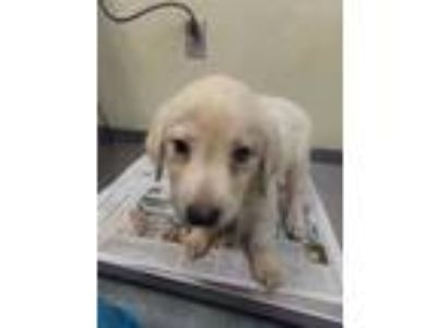 Adopt Flume a White Retriever (Unknown Type) / Mixed dog in Houston