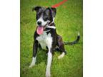 Adopt Maggie Faye a Border Collie, Terrier