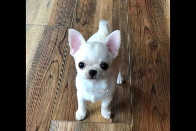 Smooth coat Chihuahua boy