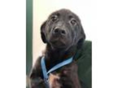Adopt Winston a Labrador Retriever, Border Collie