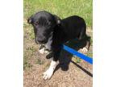 Adopt Peru a Black - with White Labrador Retriever / Beagle dog in Manhattan