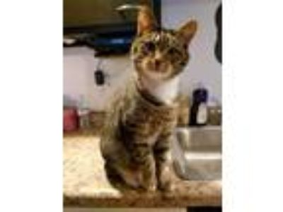 Adopt Maverick a Brown or Chocolate (Mostly) Domestic Shorthair cat in