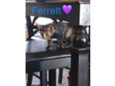 Adopt Ferret a Tortoiseshell Domestic Shorthair / Mixed cat in Greensboro