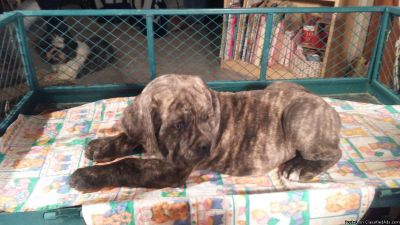 ICCF Registered Italian Cane Corso Mastiff Pups