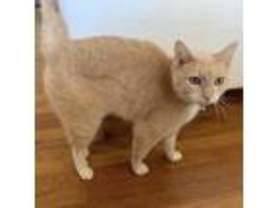 Adopt Penny a Orange or Red Domestic Shorthair (short coat) cat in Half Moon