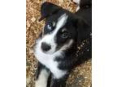 Adopt Oliver a Black - with White Australian Shepherd / Husky / Mixed dog in