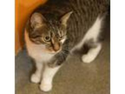 Adopt Betsy Ross a Brown or Chocolate Domestic Shorthair / Domestic Shorthair /