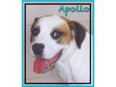 Adopt Apollo a Catahoula Leopard Dog, Boxer