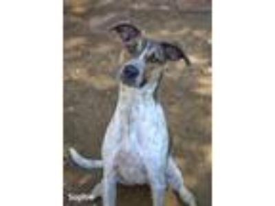 Adopt Sophie a Pointer, Greyhound