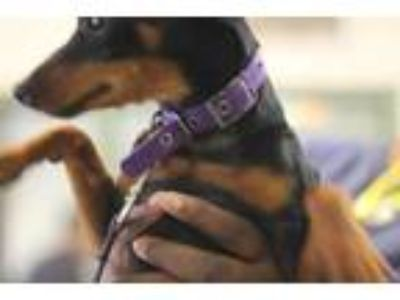 Adopt LUNA a Black - with Tan, Yellow or Fawn Miniature Pinscher / Mixed dog in