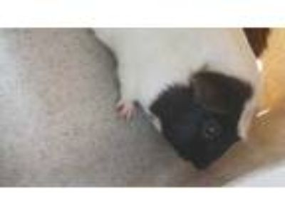 Adopt Jumper a White Guinea Pig / Mixed small animal in Washington