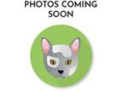 Adopt Reggae a Gray or Blue (Mostly) Domestic Shorthair (short coat) cat in