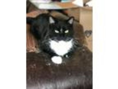 Adopt Ramesses Wagner a Domestic Short Hair