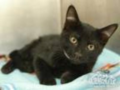 Adopt PORKY a All Black Domestic Shorthair / Mixed (short coat) cat in Irvine