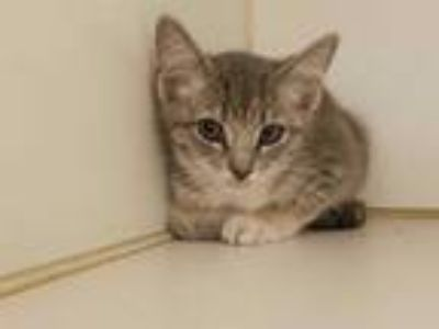 Adopt CHRISTA MCAULIFFE a Gray, Blue or Silver Tabby Domestic Shorthair / Mixed