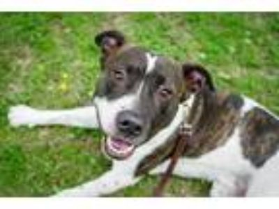 Adopt Shaggy a Brindle American Pit Bull Terrier / Mixed dog in Cedar Hill