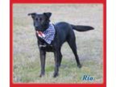 Adopt Rio a Labrador Retriever, Shepherd