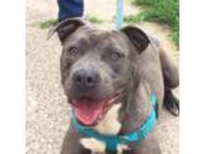 Adopt Squeaker a Gray/Silver/Salt & Pepper - with White Pit Bull Terrier /