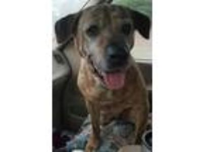 Adopt Forgotten Freddie a Brindle American Pit Bull Terrier / Mixed dog in