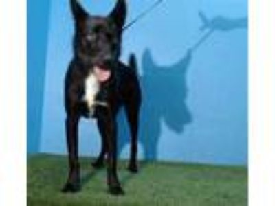 Adopt KIVA a Black - with White German Shepherd Dog / Mixed dog in Orlando