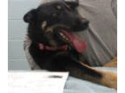 Adopt KAYLA a German Shepherd Dog