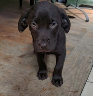 Labrador Retriever PUPPY FOR SALE ADN-73050 - Chocolate Lab Puppy