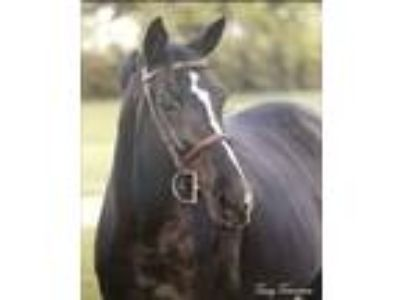 Black Dutch Warmblood